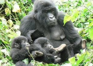 6 Days Volcano And Lowland Gorillas Safari Tour Packages