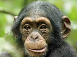 Chimpanzee Treks In Virunga / Tongo Forest Packages