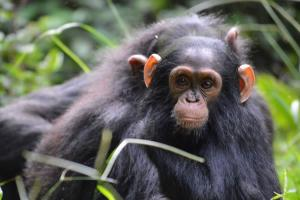Chimpanzees In Tongo Forest Tour